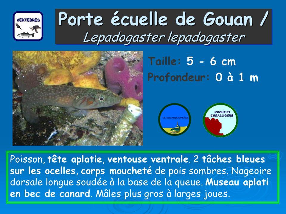 Porte écuelle de Gouan / Lepadogaster lepadogaster