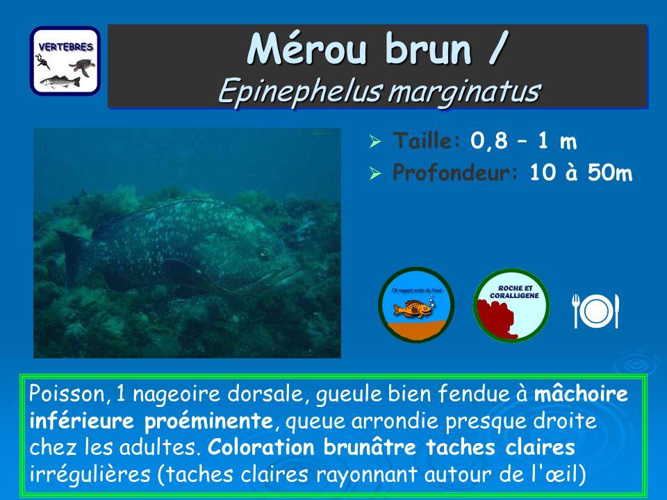 Mérou brun / Epinephelus marginatus