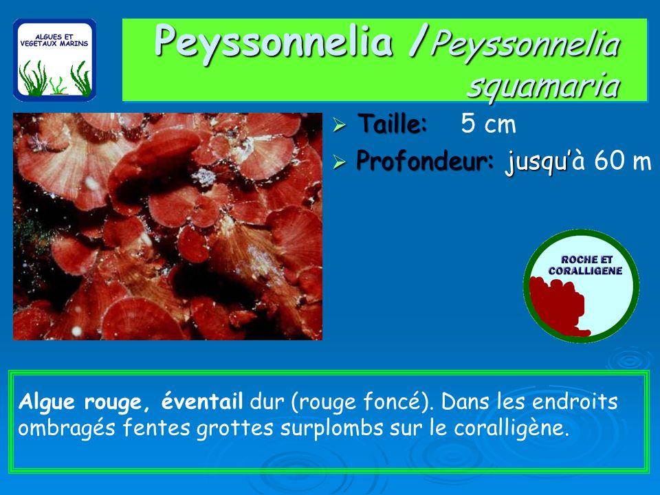 Peyssonnelia /Peyssonnelia squamaria