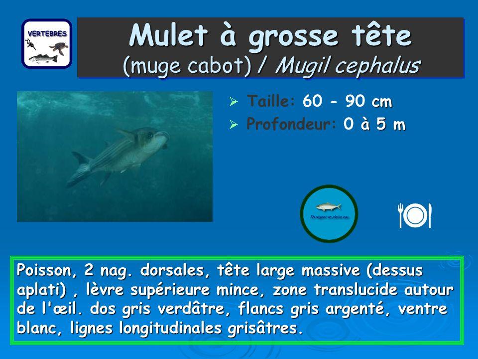 Mulet à grosse tête (muge cabot) / Mugil cephalus