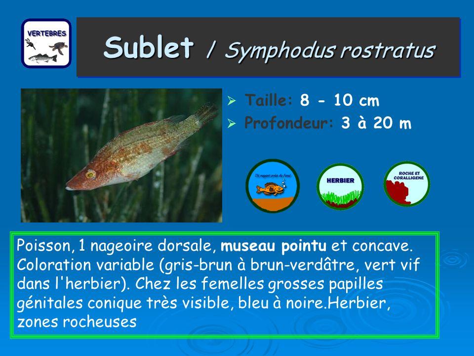 Sublet / Symphodus rostratus