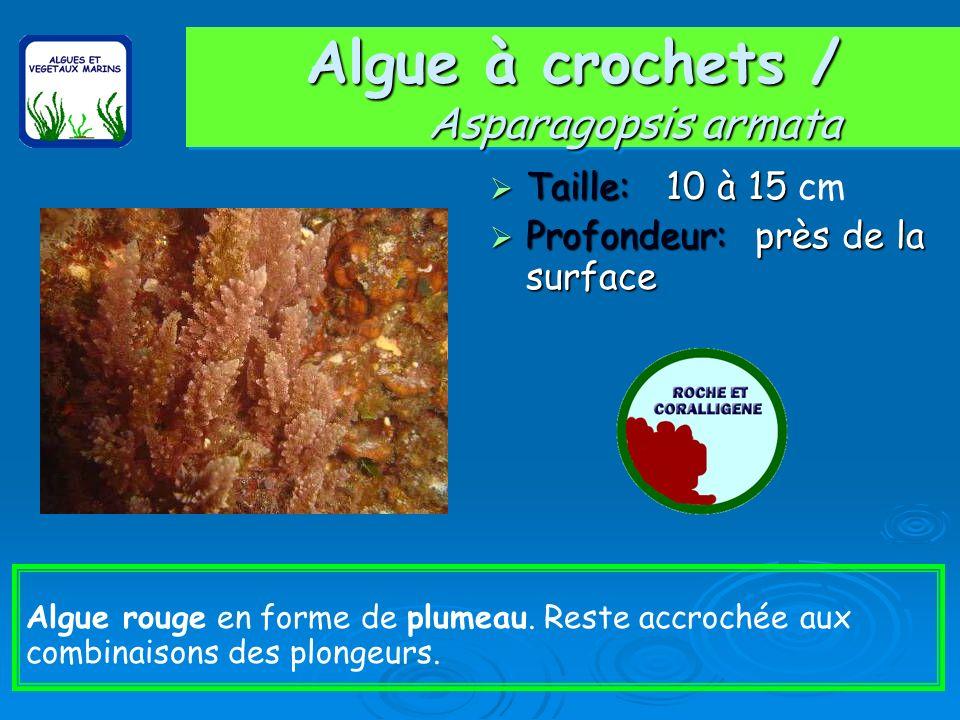 Algue à crochets / Asparagopsis armata