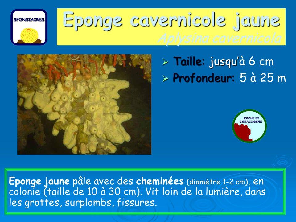 Eponge cavernicole jaune Aplysina cavernicola
