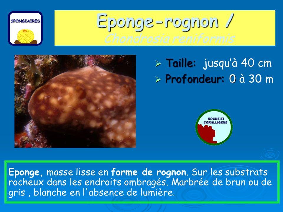 Eponge-rognon / Chondrosia reniformis