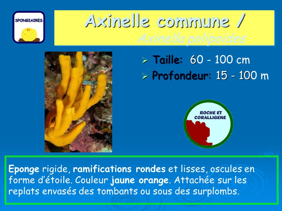 Axinelle commune / Axinella polipoides
