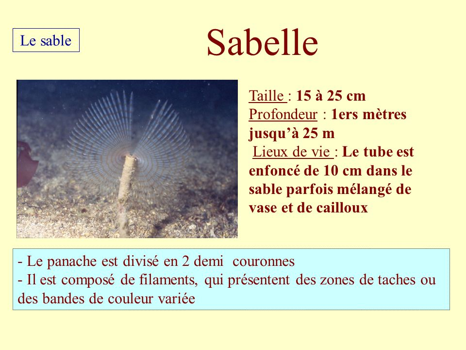 Sabelle Le sable Taille : 15 à 25 cm