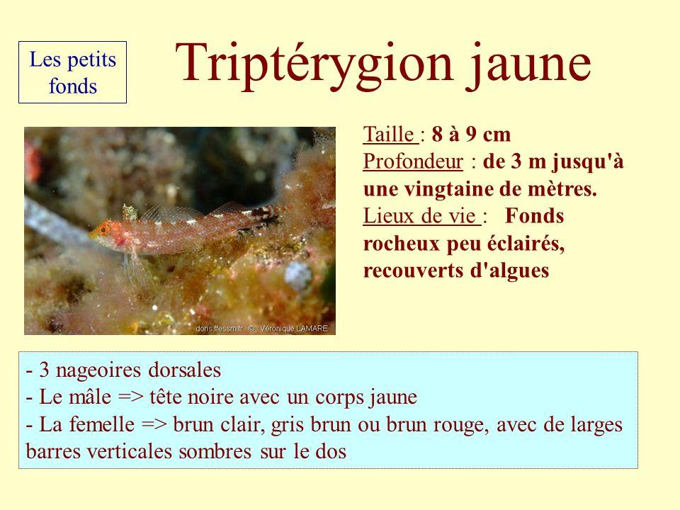 Triptérygion jaune Les petits fonds Taille : 8 à 9 cm