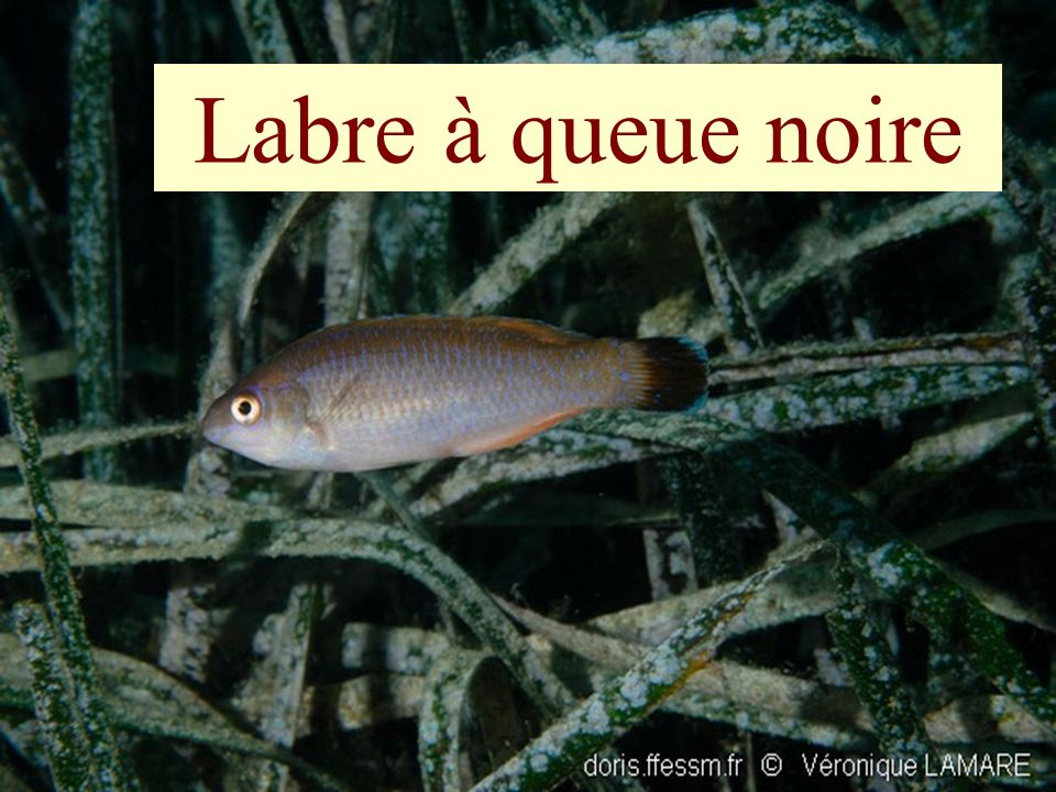 Labre à queue noire