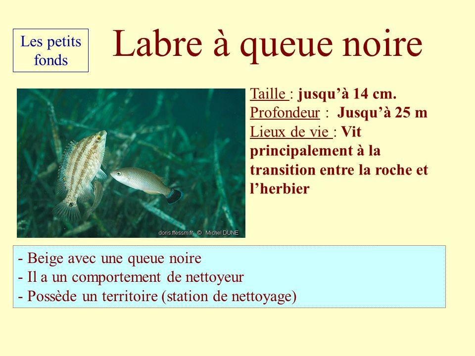Labre à queue noire Les petits fonds Taille : jusqu'à 14 cm.