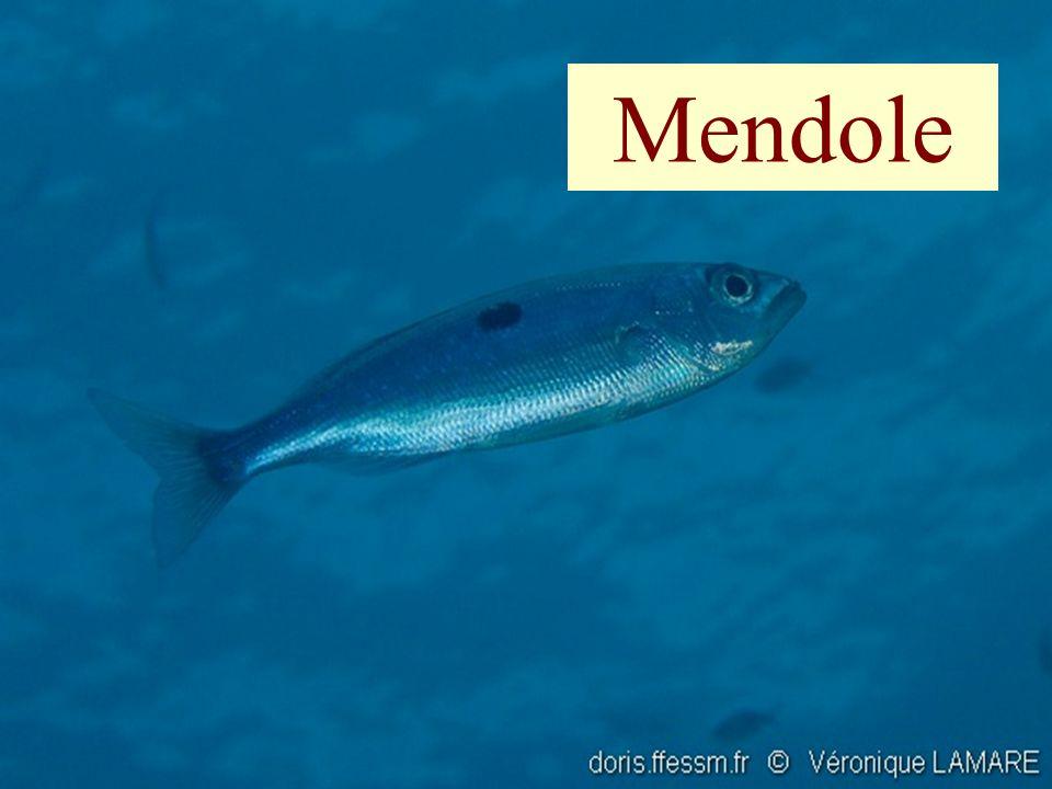 Mendole