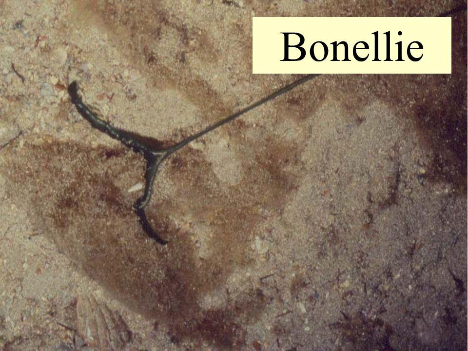 Bonellie