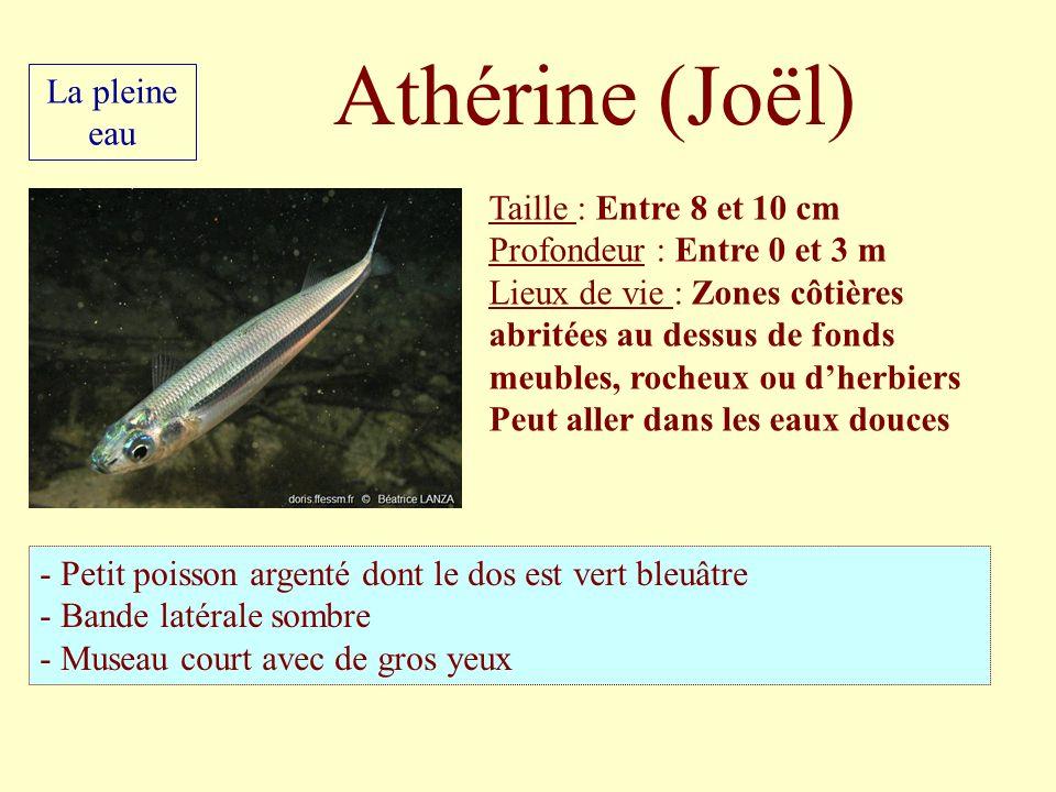Athérine (Joël) La pleine eau Taille : Entre 8 et 10 cm