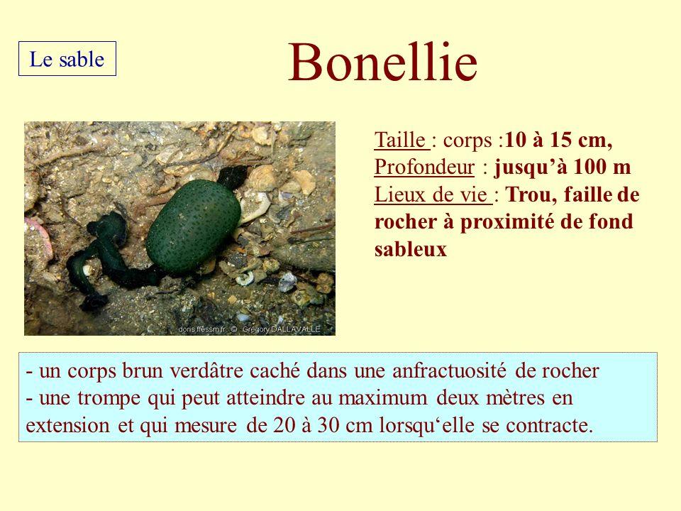 Bonellie Le sable Taille : corps :10 à 15 cm,