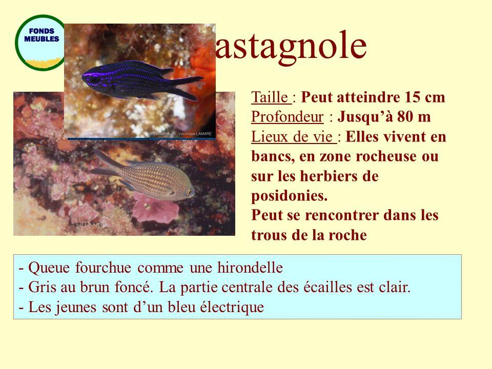 Castagnole Taille : Peut atteindre 15 cm Profondeur : Jusqu'à 80 m