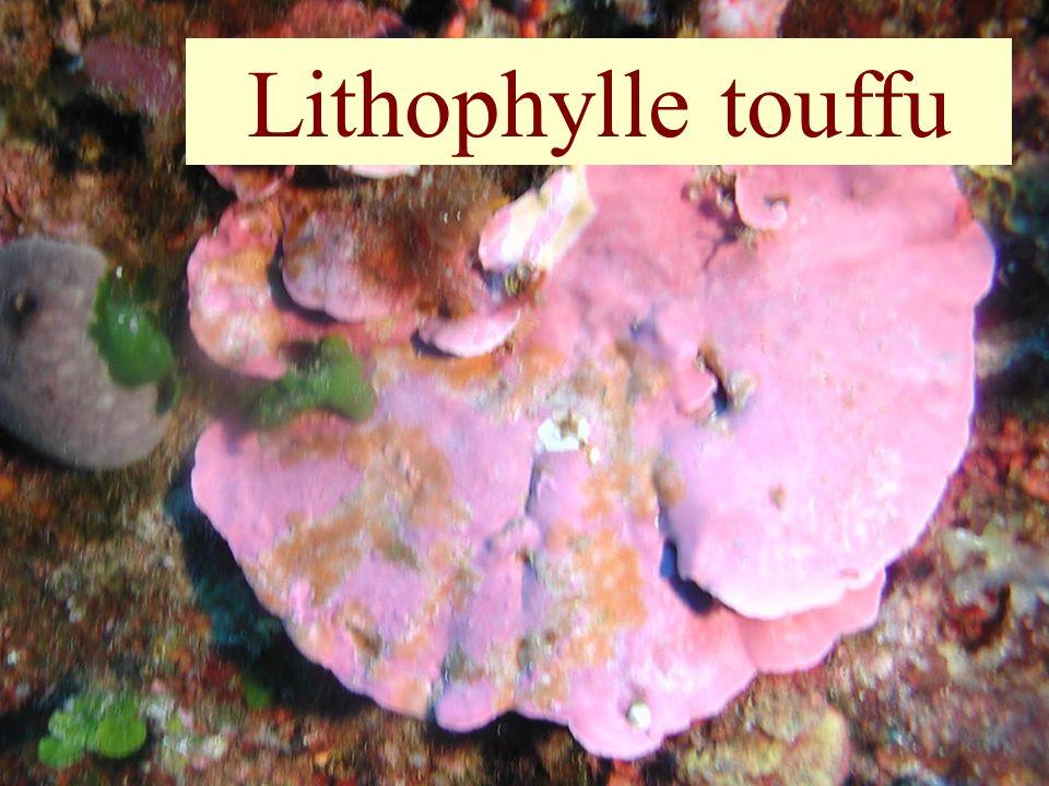Lithophylle touffu
