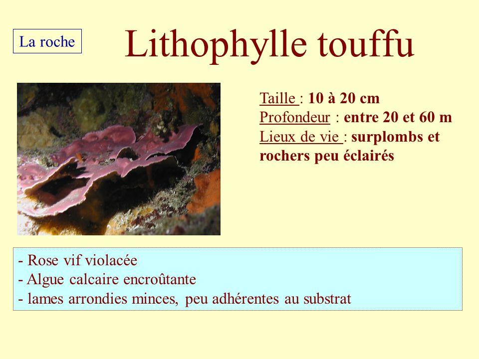 Lithophylle touffu La roche Taille : 10 à 20 cm