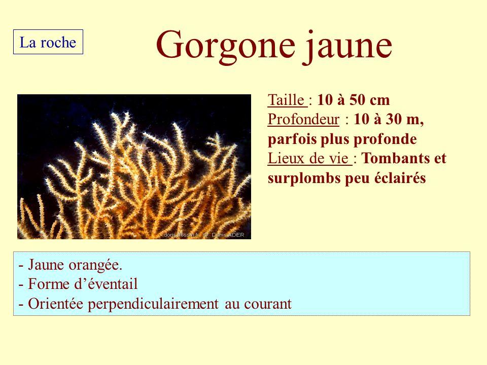 Gorgone jaune La roche Taille : 10 à 50 cm