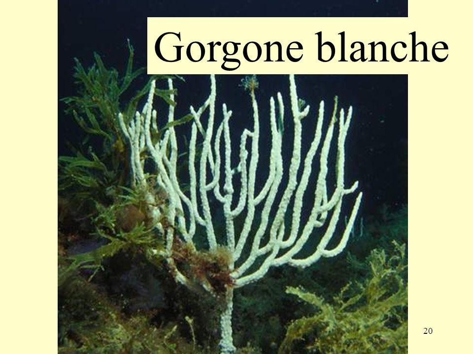 Gorgone blanche