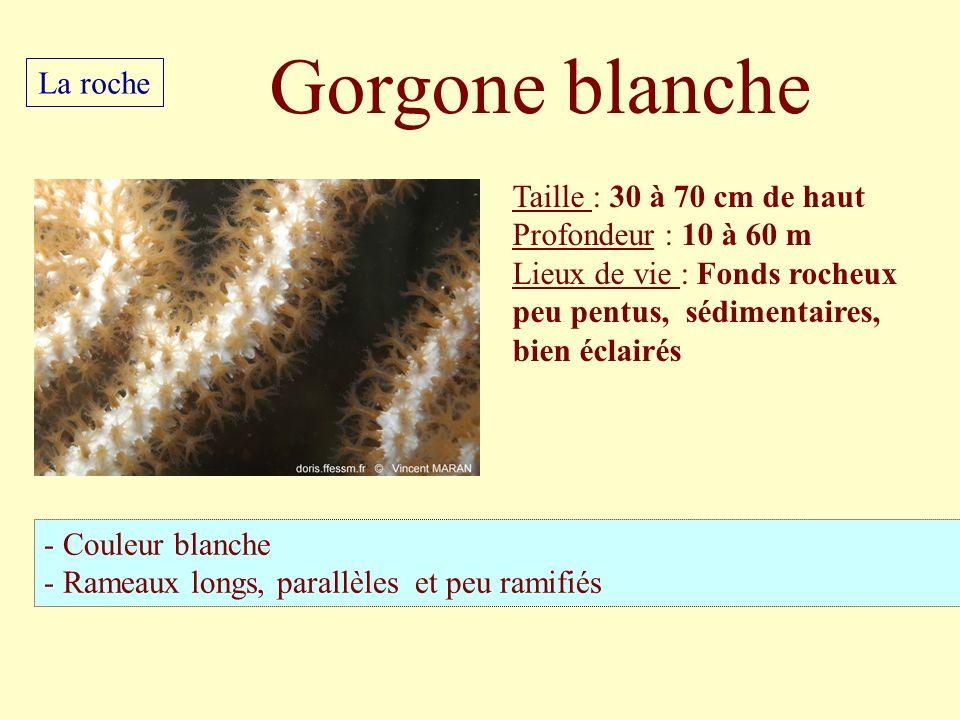 Gorgone blanche La roche Taille : 30 à 70 cm de haut