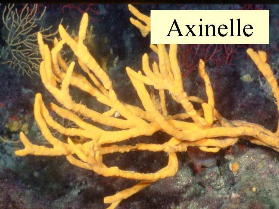 Axinelle