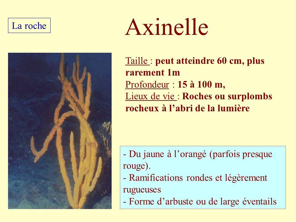 Axinelle La roche Taille : peut atteindre 60 cm, plus rarement 1m
