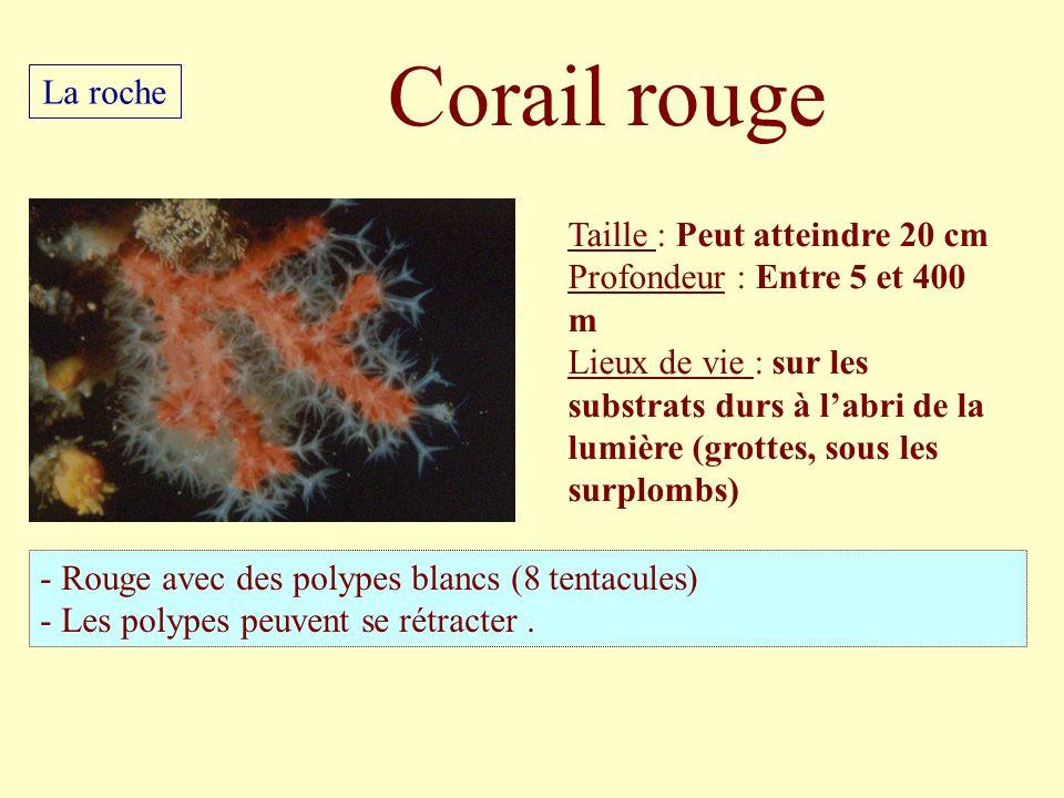 Corail rouge La roche Taille : Peut atteindre 20 cm