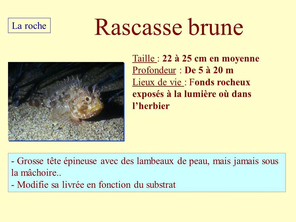 Rascasse brune La roche Taille : 22 à 25 cm en moyenne