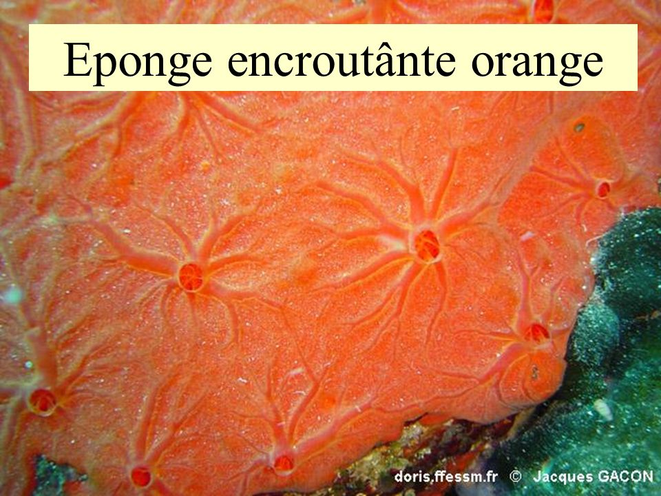 Eponge encroutânte orange