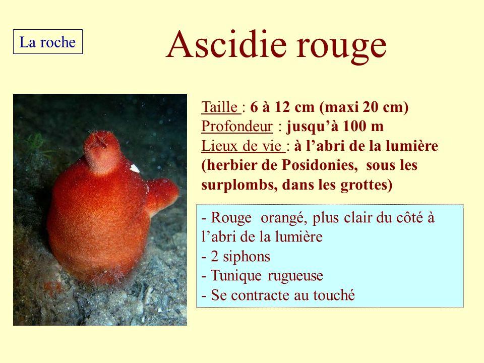 Ascidie rouge La roche Taille : 6 à 12 cm (maxi 20 cm)