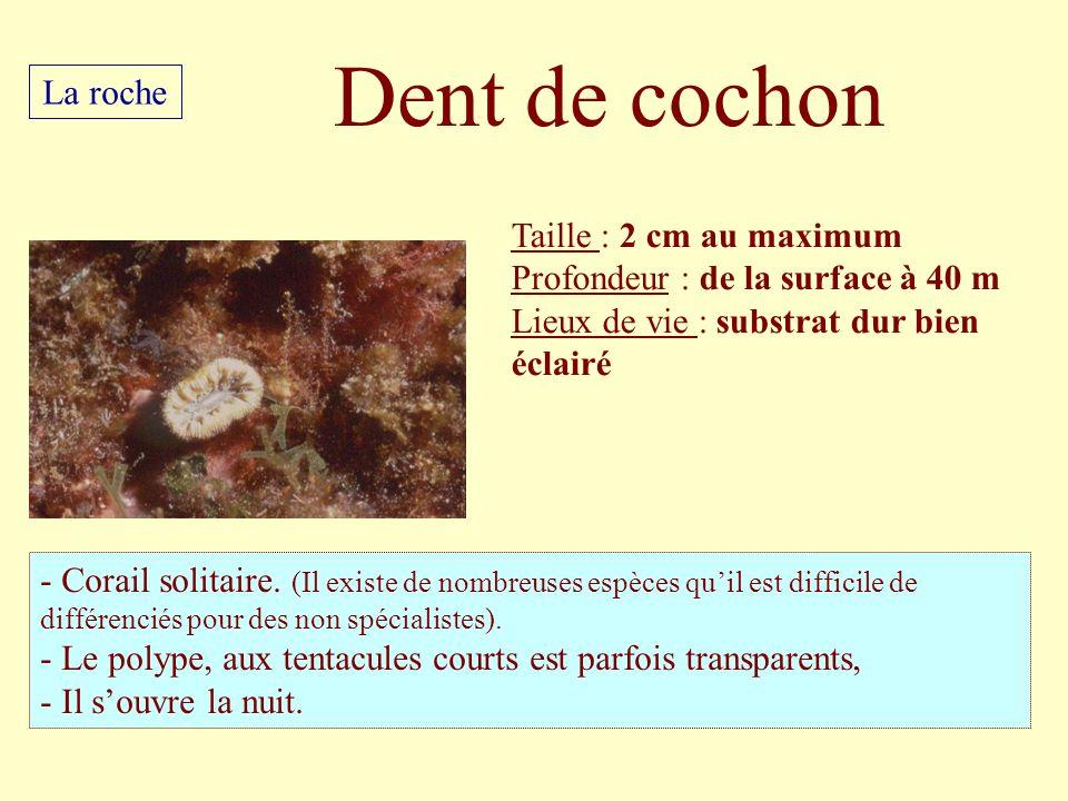 Dent de cochon La roche Taille : 2 cm au maximum