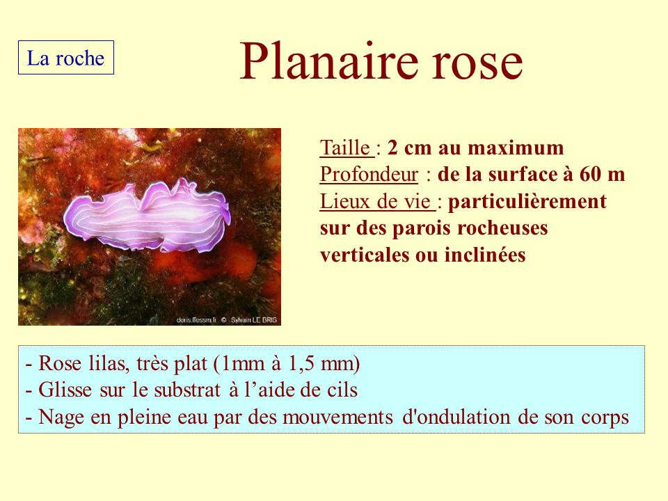 Planaire rose La roche Taille : 2 cm au maximum