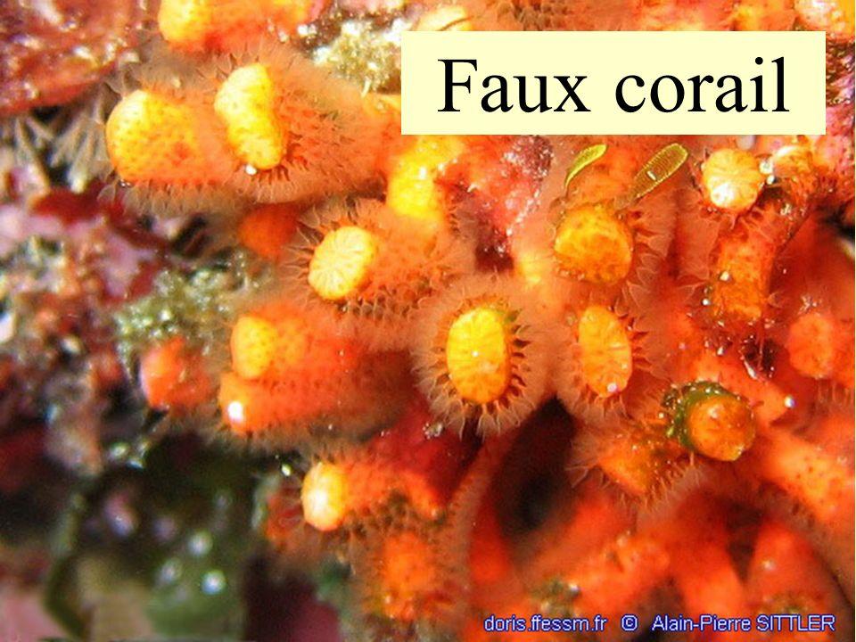 Faux corail