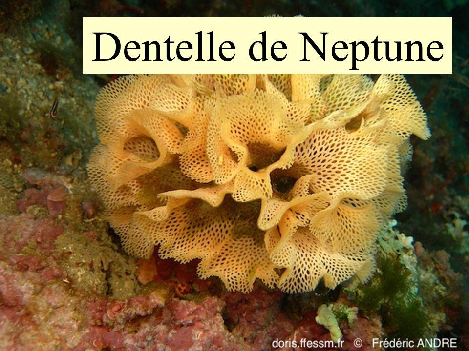Dentelle de Neptune