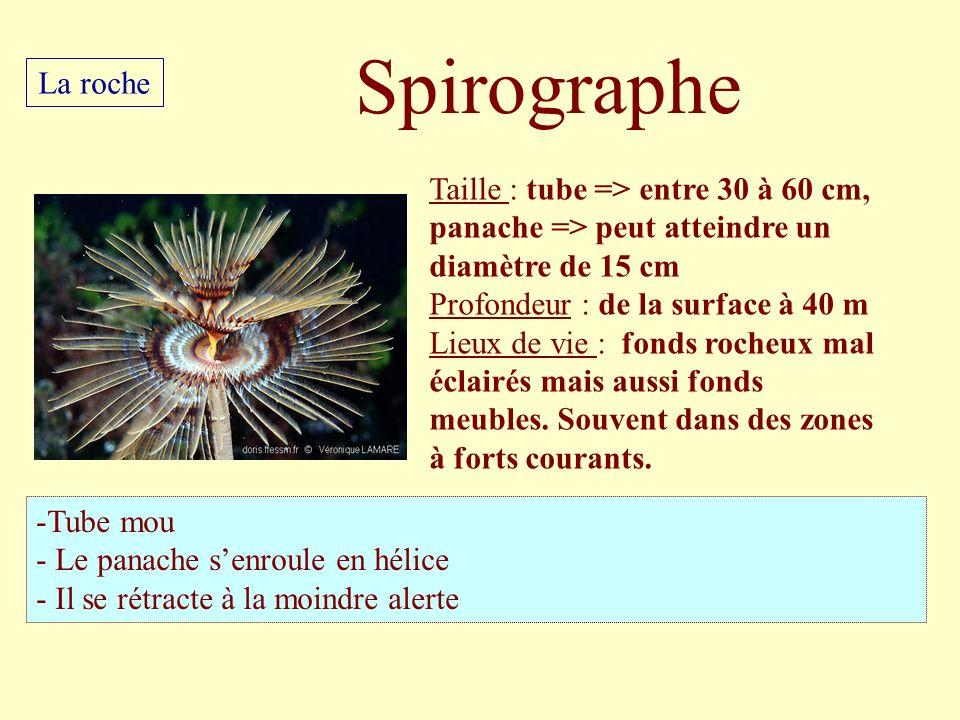 Spirographe La roche. Taille : tube => entre 30 à 60 cm, panache => peut atteindre un diamètre de 15 cm.