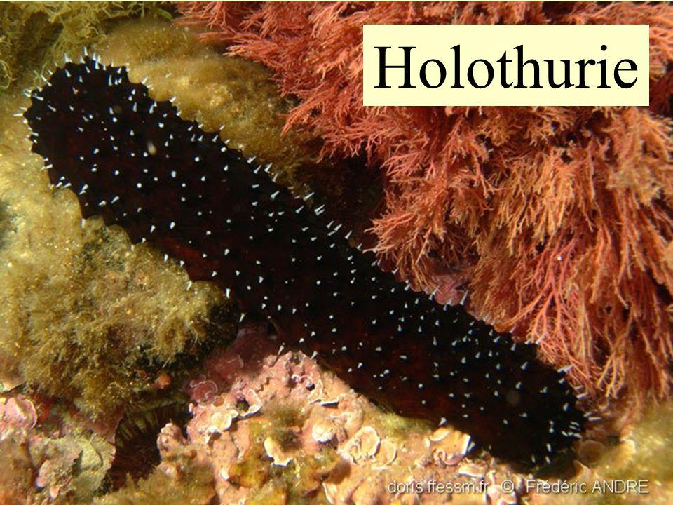 Holothurie