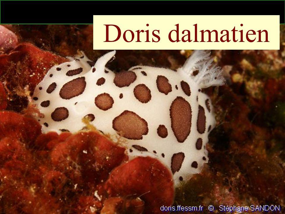 Doris dalmatien