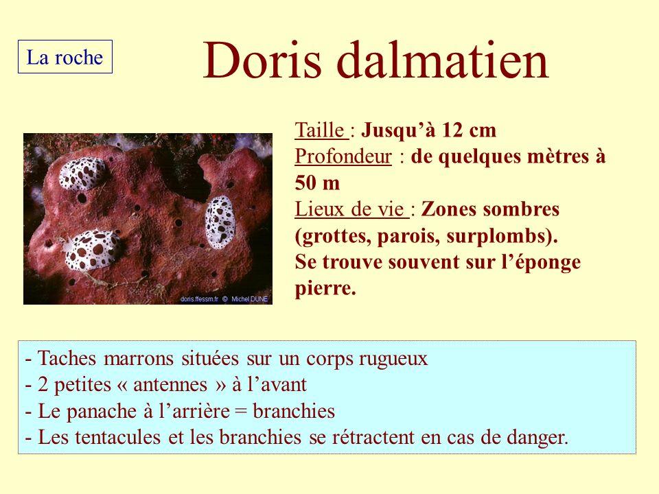 Doris dalmatien La roche Taille : Jusqu'à 12 cm