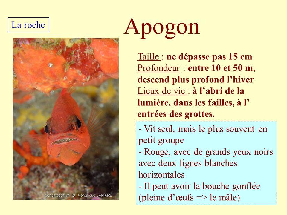 Apogon La roche Taille : ne dépasse pas 15 cm