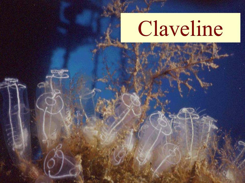 Claveline