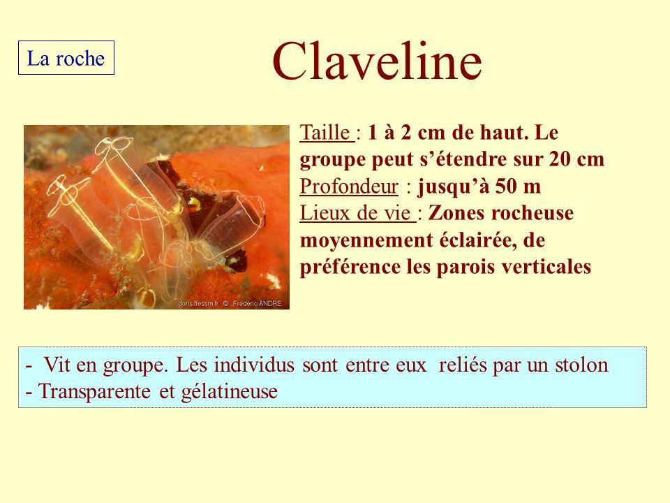 Claveline La roche. Taille : 1 à 2 cm de haut. Le groupe peut s'étendre sur 20 cm. Profondeur : jusqu'à 50 m.