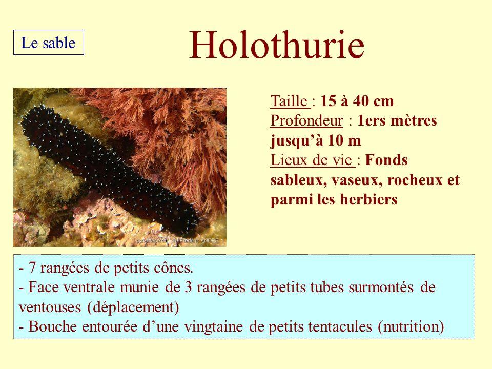 Holothurie Le sable Taille : 15 à 40 cm