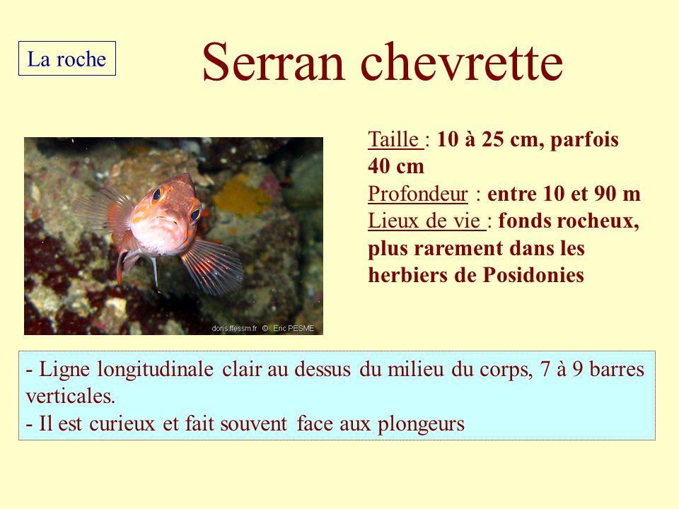 Serran chevrette La roche Taille : 10 à 25 cm, parfois 40 cm