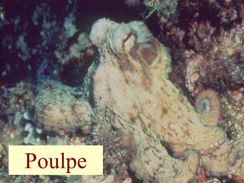Poulpe