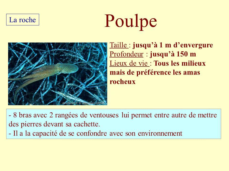 Poulpe La roche Taille : jusqu'à 1 m d'envergure