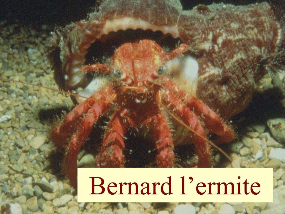 Bernard l'ermite