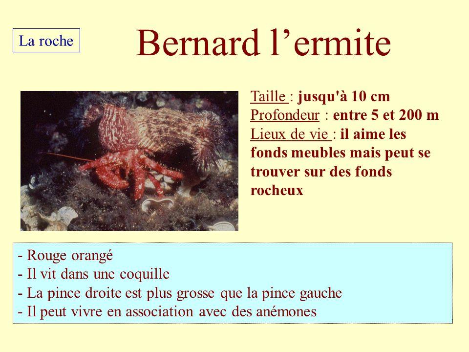 Bernard l'ermite La roche Taille : jusqu à 10 cm