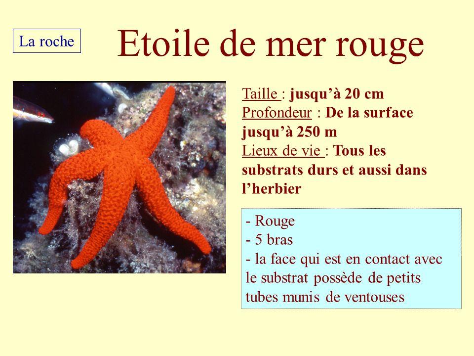 Etoile de mer rouge La roche Taille : jusqu'à 20 cm