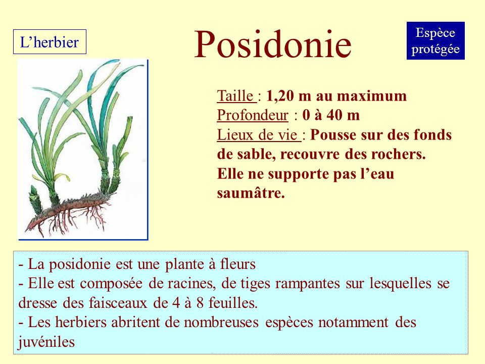 Posidonie L'herbier Taille : 1,20 m au maximum Profondeur : 0 à 40 m