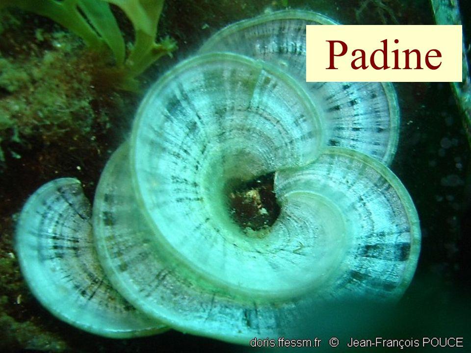 Padine