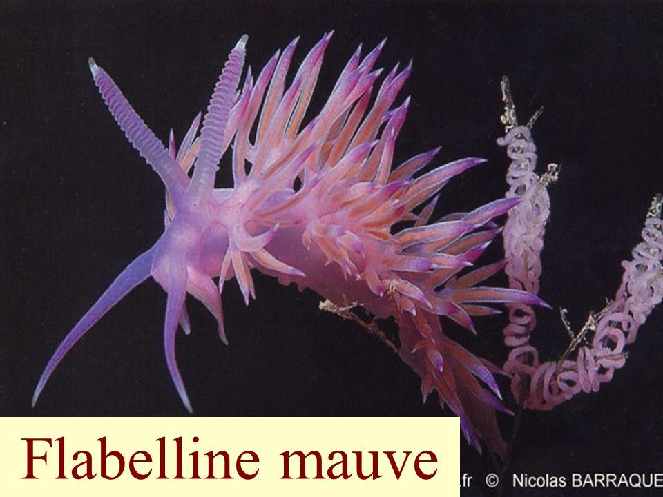 Flabelline mauve